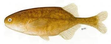 Bulldog. Nembwe and tiger fish snack