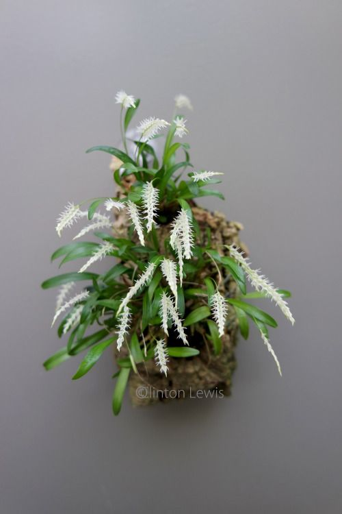 Coelogyne parvulum (Asia)This is a true miniature with minute...//clinton lewis