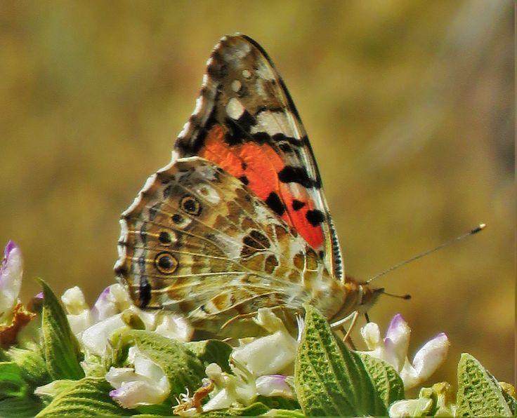 Painted Lady wings closed