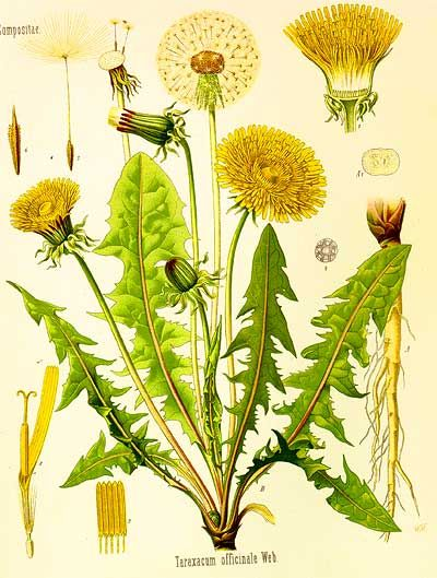"""Dandelion (Taraxacum officinale)    Volumes could be written on the many uses of dandelion - indeed they have been! This common weed is often hated and poisoned by those preferring a """"weed free"""" lawn, while those of us in love with dandelion and its many uses happily support it taking over our lawns. Every part of the dandelion can be used as food or medicine, making back door   herbalism simple and easy, as it should be."""