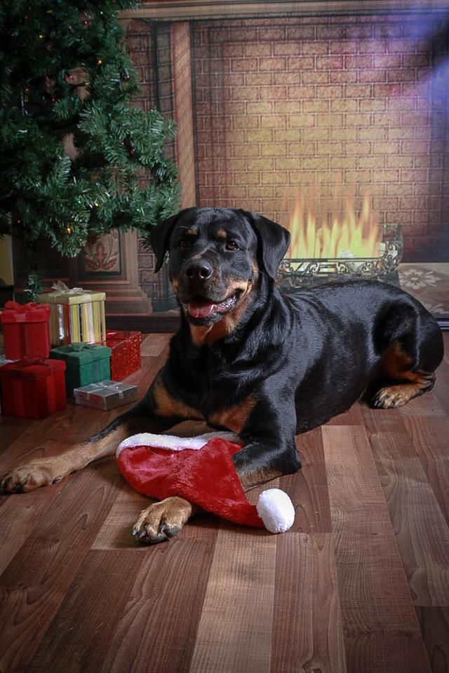 Pet Dog Rottweiler Christmas Portrait by 863furtography