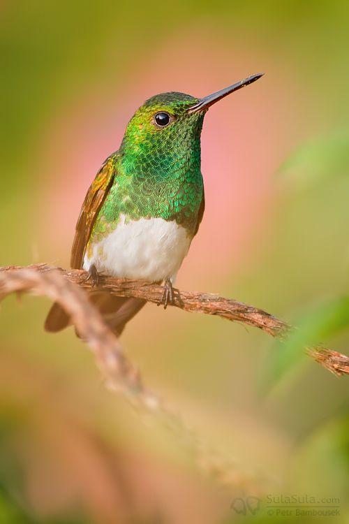 Snowy Breasted Hummingbird