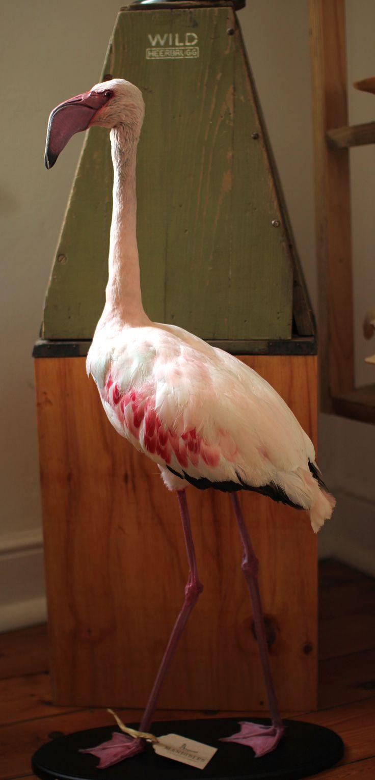 Taxidermy Lesser Flamingo. Mandibles, Cape Town