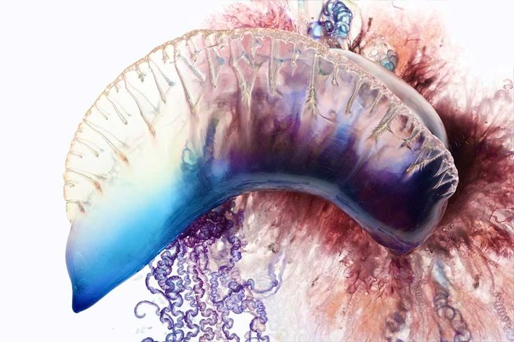 Beautiful pictures of Portuguese Man-of-Wars