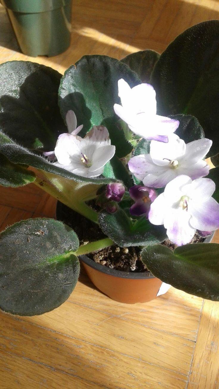 La violette africaine ,plante que ma mère aimait beaucoup probablement à cause de la beauté et la simplicité de ses fleurs que l'on retrouve...