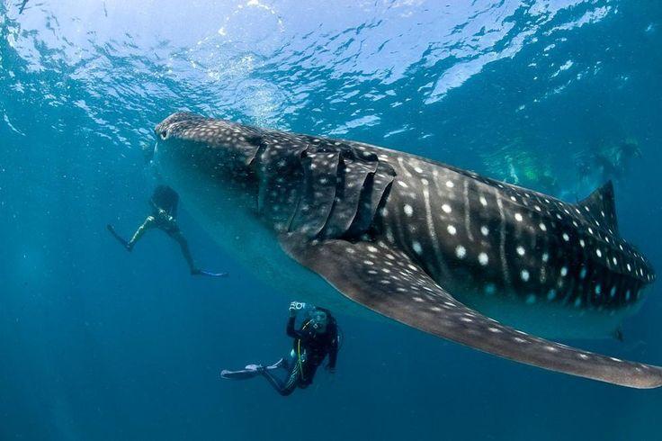 5x Beste plekken om met walvishaaien te zwemmen