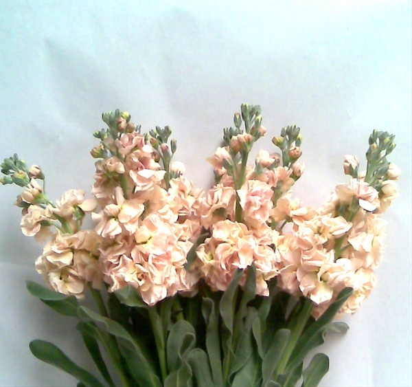Apricot stock for bridesmaids bouquets as well as altar Cross, chair markers and centerpieces