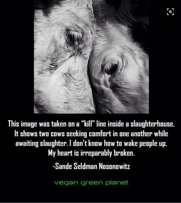 Two cows awaiting slaughter taking comfort in one another. Heartbreaking. Go vegan!
