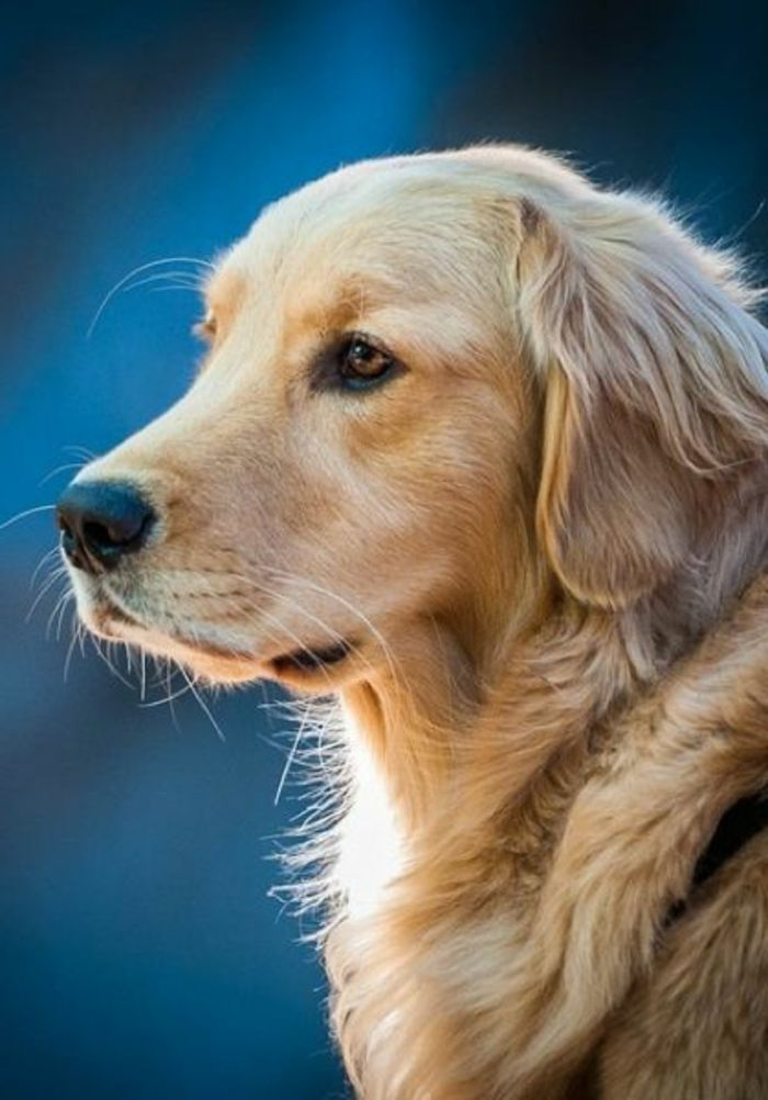 comment choisir un race de chien taille moyen