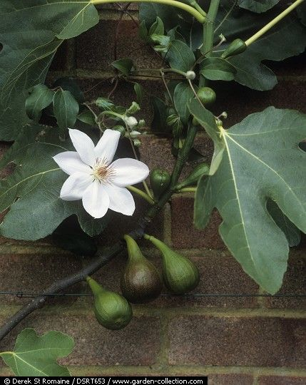 /\ /\ . Fig & Clematis