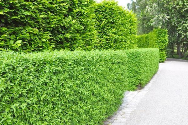 Heckenpflanzen. Ligusterhecke - Wintergrüner Liguster - Liguster online kaufen. Hohe Qualität zu konkurrenzfähigen Preisen, schnell und korrekt geliefert.
