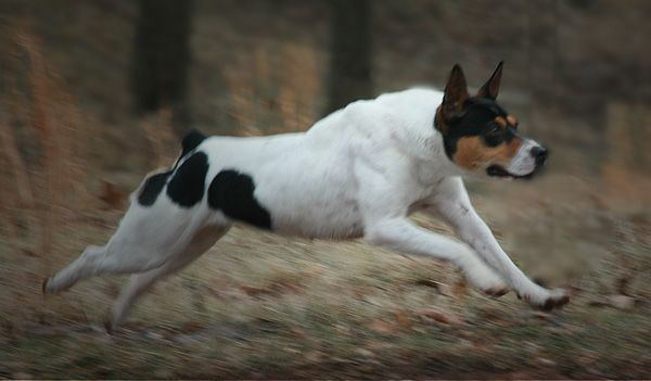 Decker Rat Terrier's are the largest of the rat terrier