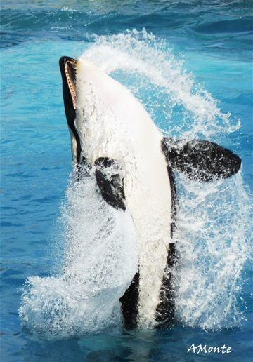 Les Orques du Marineland Français: INOUK- WIKIE- MOANA & KEIJO