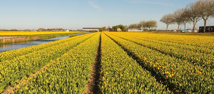 Fotobehang: Panorama van Gele Tulpen