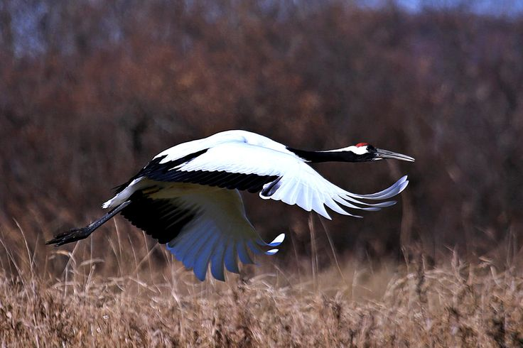 Flies away Japanese crane by 雅雄 Masao 山本 Yamamoto on 500px