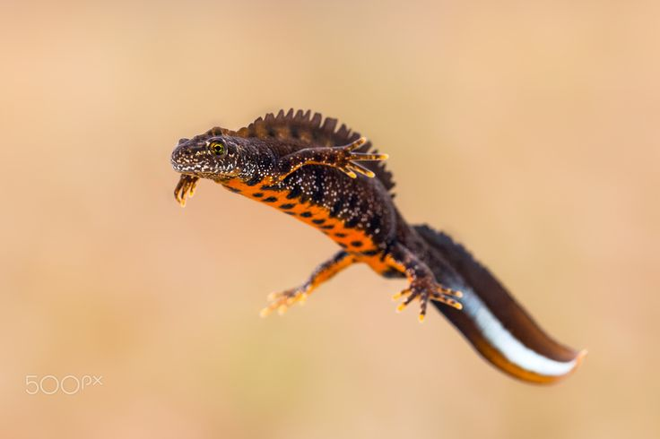 Floating - Great crested newt (Triturus cristatus) male in breeding colors