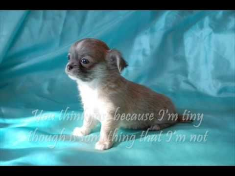 Yes, I know that the lyrics aren't correct. :) Cha-cha-cha Chihuahua LYRICS cha-cha-cha 2X I'm a cha-cha-cha Chihuahua, I'm…