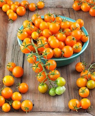 Sungold Tomato - one of THE most popular cherry tomatoes, we've brought it back to meet high demand. Sweet as candy   @bonnieplants