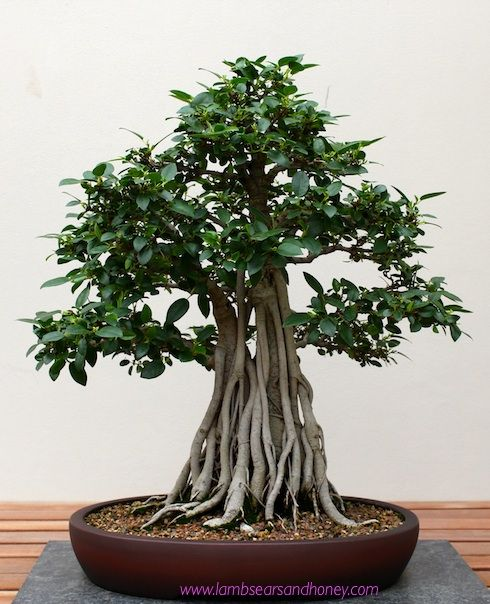 best 25 bonsai ficus ideas on pinterest ficus bonsai tree bonsai forest and bonsai. Black Bedroom Furniture Sets. Home Design Ideas