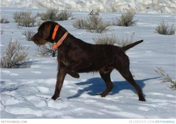 Hunting Dog Rescue Bc