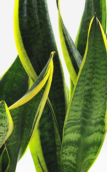 plus de 1000 id es propos de plantes d 39 int rieur sur pinterest nature le cerveau et plante. Black Bedroom Furniture Sets. Home Design Ideas