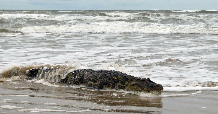 Jacaré de 1,9 metro é flagrado na praia do Cassino, no Sul do RS