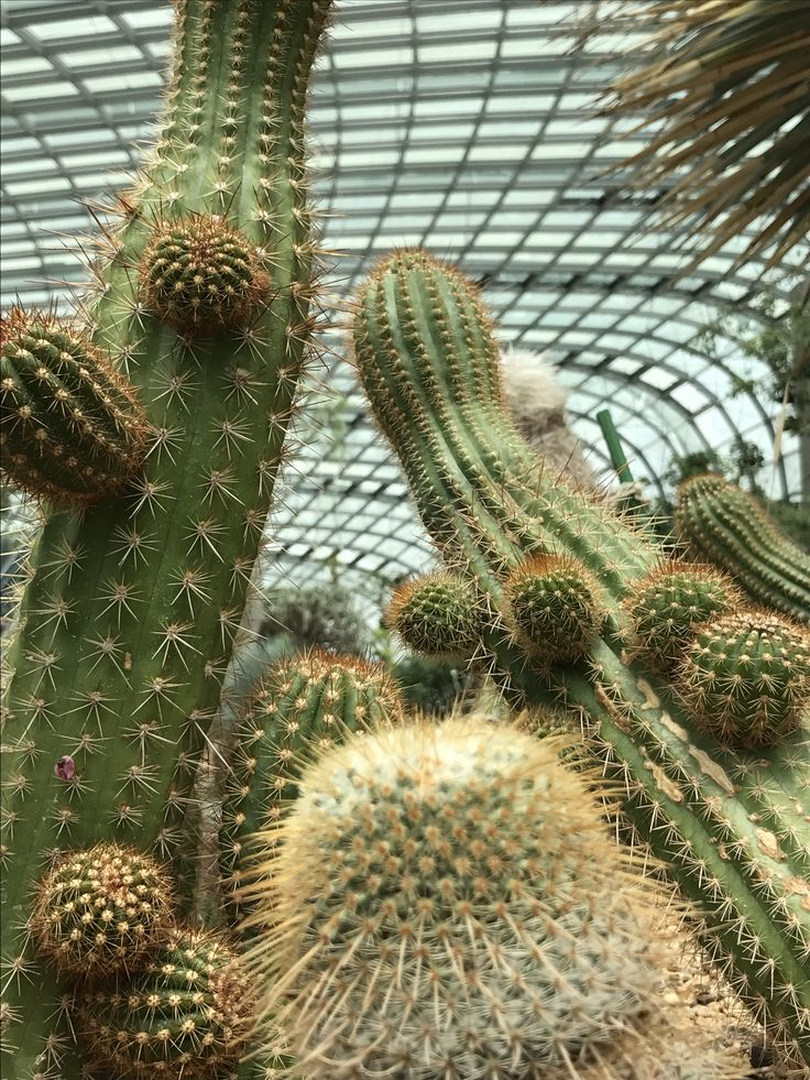 cacti plants from africa is being showcased in a special exhibition at gardens by the bay