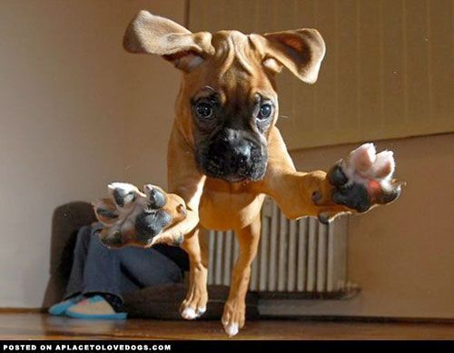 Attention, attention.. incoming Boxer puppy ready to pounce in 3, 2, 1. ___ Visit our website now!