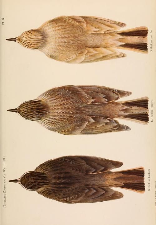 Illustration of from a zoological paper on Sparrows, in Novitates Zoologicae (1911)