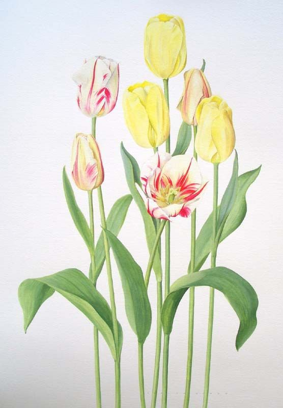 "Evelyn Binns Tulips 'Francoise' and 'Sorbet'  Watercolour on paper  Framed size: 34"" x 27"""