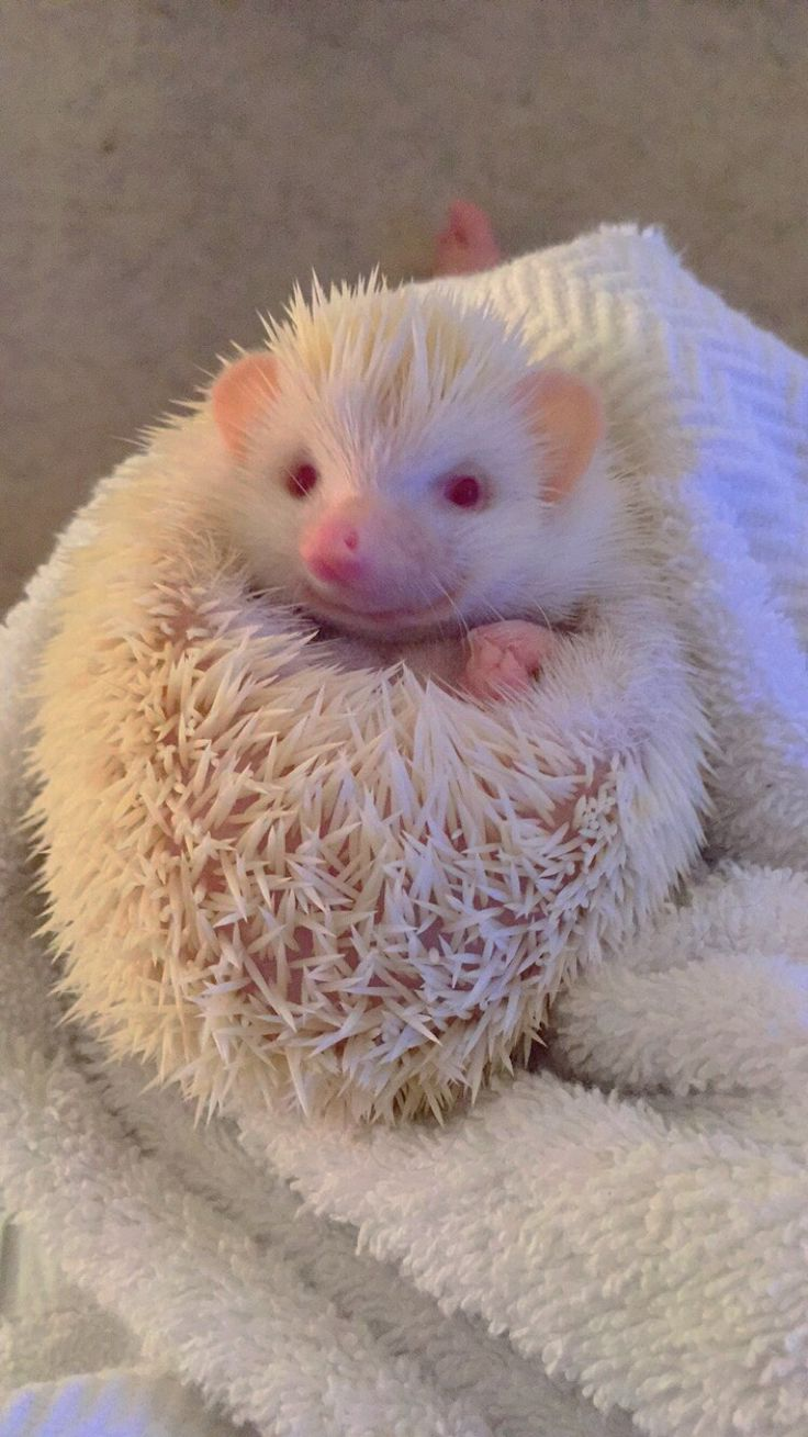 My new little baby Luna! She is a African pigmy albino hedgehog!