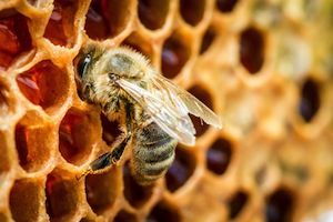 What is Bee Propolis? 10 Great Uses - Global Healing Center