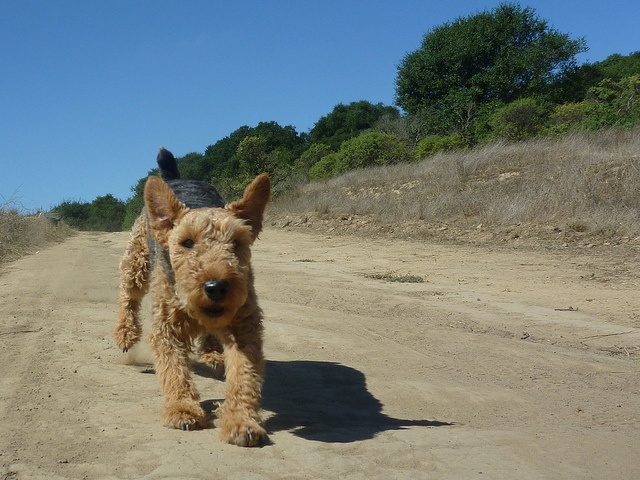 welsh terrier on the run