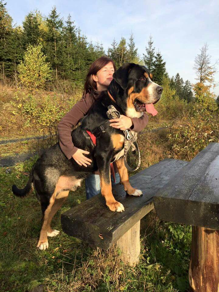 Largest Bernese Mountain Dog Goldenacresdogscom
