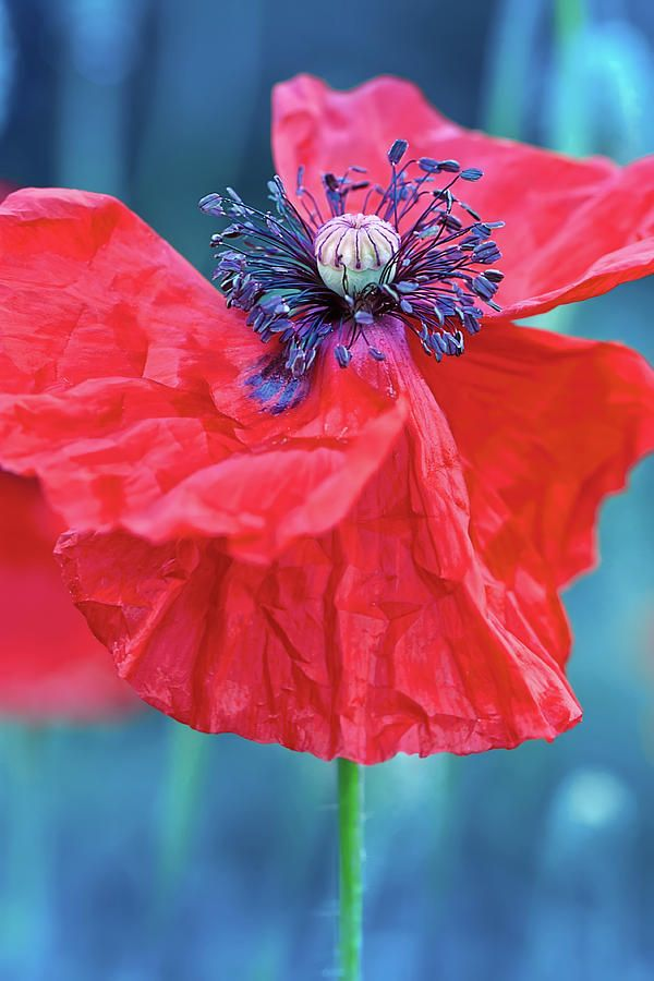 Red Red Poppy    #OksanaAriskina #OksanaAriskinaFineArtPhotography #Poppy #Flower #ArtForHome #Red #Blue #Color #FineArtPrints #InteriorDesign #PrintsForSale #Garden