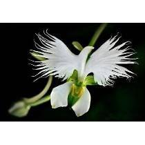 Orquídea Pomba Branca Da Paz 15 Sementes Plantas Rosas