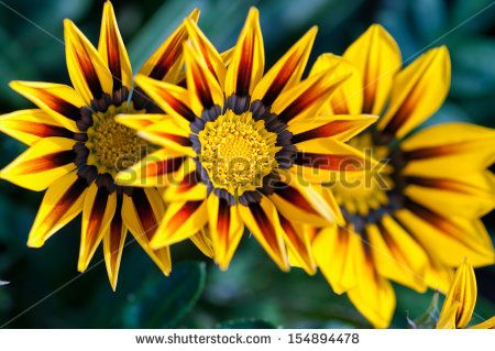 stock-photo-gazania-flower-native-to-south-africa-but-found-widely-in-australia-154894478.jpg (450×319)