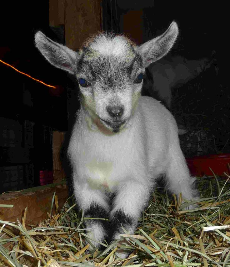 Baby pygmy goat jumping - photo#11