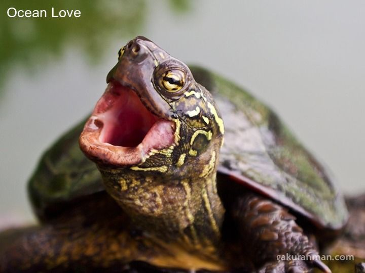Q: What do you call a truck-load of tortoises crashing into a train-load of terrapins?  A: a turtle disaster.   You're welcome world. #turtle #turtles #cute #oceanlove