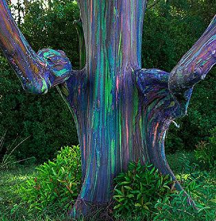 Rainbow Eucalyptus tree in Hana, Hawaii  These are the coolest trees I have ever seen in my life.
