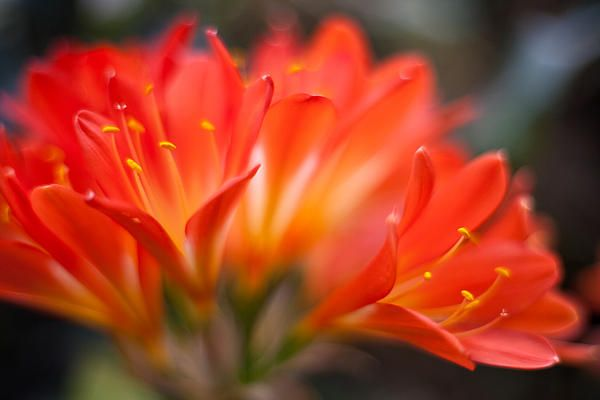 Delicate Clivia Blooms in a local garden.  Photography by Mike Reid