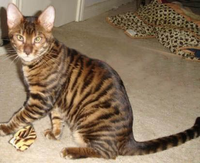 toyger cat - Google Search