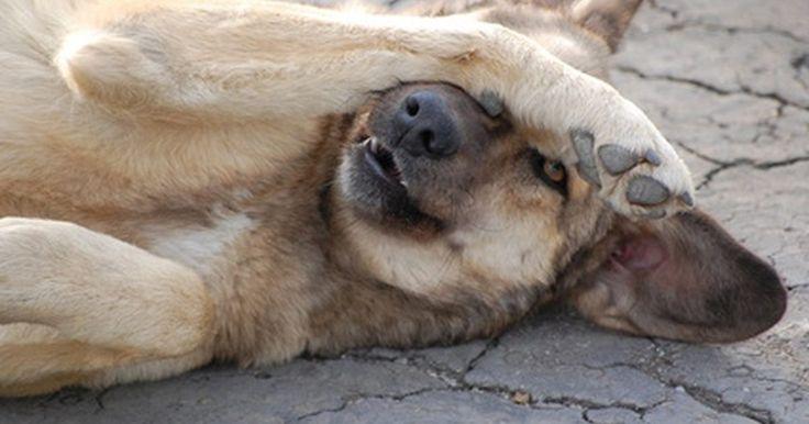Cómo enseñar a tu perro a obedecer y hacer trucos. Deja de regalar afecto; no domestiques inconscientemente a tu perro, de acuerdo con la Humane Society. Este es un pequeño secreto para hacer que tu perro obedezca y haga trucos. La consistencia también es importante. Haz de la obediencia una parte de tu rutina diaria. Haz que todas las interacciones con tu perro sean parte de la experiencia de ...