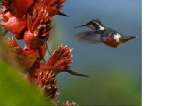 GENIO Italiano Giuseppe Cotellessa: Ecco come si muove l'ala del colibrì.  In un'abile...