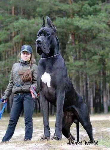 Italian Mastiff ... I've heard of an Italian Stallion!
