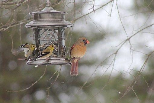 Kardinaal, Vogel, Red