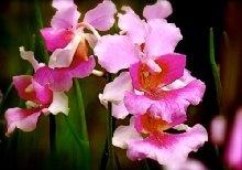 Hawaiian Vanda Orchid Plant