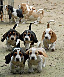 Baby basset hounds!