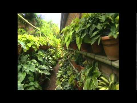 The Hanging Hosta Garden in Lindford, Hampshire is the creation of June Colley and her partner John. The collection of over 1300 hosta cultivars is diplayed ...