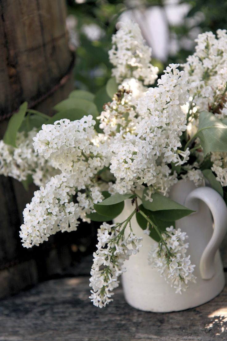 Fresh cut white lilacs